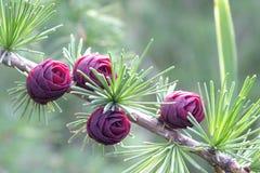 Purple pine cones. stock photo