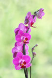 Purple ping orchid flower Royalty Free Stock Photos