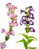 Purple Pink And Pretty Penstemon Royalty Free Stock Photo