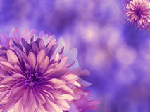 Purple-pink autumn flowers,  on blue-violet blurred background .  Closeup.  Bright floral composition, card for the holiday.  coll Stock Photos