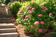 Purple, pink, blue and white hydrangea bushes in a garden. Royalty Free Stock Photo