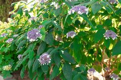 Purple, pink, blue and white hydrangea bushes in a garden. Stock Photos