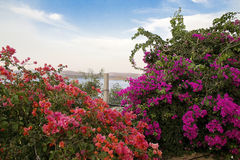 Purple and pink bougainvillea Stock Photo