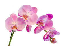 Purple, pink branch orchid flowers with green leaves, Orchidaceae, Phalaenopsis known as the Moth Orchid, abbreviated Phal. Royalty Free Stock Photography