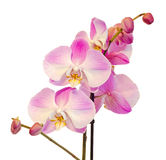 Purple, pink branch orchid flowers with green leaves, Orchidaceae, Phalaenopsis known as the Moth Orchid, abbreviated Phal. Stock Photo