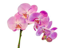 Purple, pink branch orchid flowers with green leaves, Orchidaceae, Phalaenopsis known as the Moth Orchid, abbreviated Phal. Stock Photography