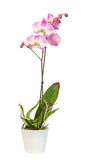 Purple, pink branch orchid flowers with green leaves, Orchidaceae, Phalaenopsis known as the Moth Orchid, abbreviated Phal. Royalty Free Stock Image