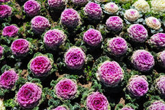 The purple pink cabbage flowers in field Stock Photos