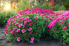 Purple and pink chrysanthemum flowers on flowerbed at sunset. stock image