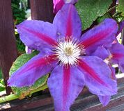 purple-and-pink clematis Royalty Free Stock Photography