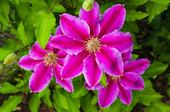 Purple pink color of clematis flower bloom blossom petal detail. Clematis kakio purple pink color flower bloom blossom, petal detail on green garden background Royalty Free Stock Photo