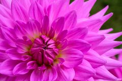 Purple pink colourful dahlia flower macro photo with intense vivid colors emphasizing purple pink details. Flower background. Purple pink colourful dahlia stock image