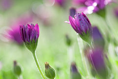 Purple and pink daisy flowers. Long stemmed pink and purple daisies with water droplets Stock Image
