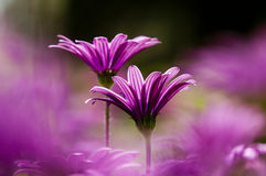 Purple and pink daisy flowers Royalty Free Stock Photography