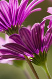 Purple and pink daisy flowers Stock Image