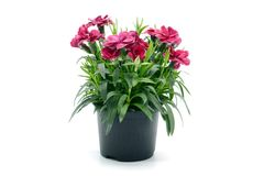 Purple pink dianthus flower in flowerpot. potted on white isolated background. Purple pink dianthus flower in flowerpot. potted on white background stock images
