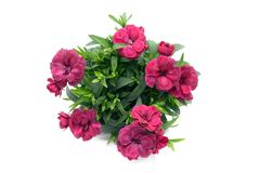 Purple pink dianthus flower in flowerpot. potted on white isolated background. Top view stock photos