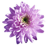 Purple-pink flower chrysanthemum, garden flower, white isolated background with clipping path. Closeup. no shadows. green centre Stock Images