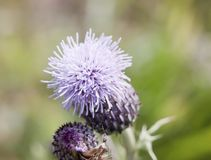 Purple pink flower head blossom of wild milk thistle plant in fi Royalty Free Stock Photography