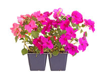 Purple- and pink-flowered impatiens seedlings ready for transpla. Pack containing two seedlings of impatiens plants (Impatiens wallerana) flowering in purple and Stock Image
