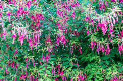 Purple and pink flowers. Purple and pink beautiful flowers growing in the green garden royalty free stock image
