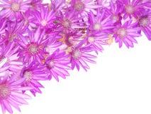 Purple pink flowers corner, Everlasting, Immortelle Stock Images