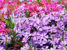 Purple and pink flowers in a flower bed. Ornamental garden Stock Image