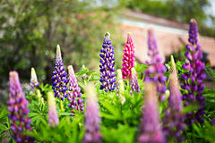 Purple and pink flowers lupins. In garden stock photos