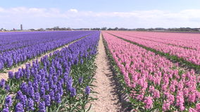 Purple and pink flowers in The Netherlands. Purple and pink flowers in a field near The Keukenhof in The Netherlands stock video footage