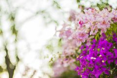 Purple and Pink Flowers in Selective Focus Photography Royalty Free Stock Photo