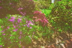 Bright purple pink bushes of flowers in park. Purple and pink flowers in the small bushes pictured on the streets in Washington D.C., USA. Lots of flowers can be royalty free stock photos