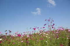 Purple and Pink Flowers Under White Clouds during Day Time Royalty Free Stock Images