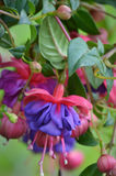 Purple and Pink Fuchsia Flowers Stock Photo