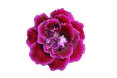 Purple-Pink gloxinia flower Stock Image