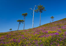 Purple and pink heather on Dorset heathland Royalty Free Stock Photography