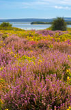 Purple and pink heather on Dorset heathland near Poole Harbour Stock Photo