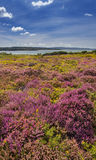 Purple and pink heather on Dorset heathland near Poole Harbour Royalty Free Stock Image