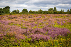 Purple and pink heather on Dorset heathland near Poole Harbour Royalty Free Stock Photos