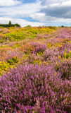 Purple and pink heather on Dorset heathland near Poole Harbour Stock Photography