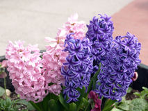 Purple and Pink Hyacinth. Potted purple and pink hyacinth  on sidewalk, northampton, massachusetts Royalty Free Stock Image
