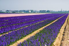 Purple and pink hyacinth fields Stock Photos