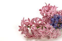 Purple and pink hyacinth on white backgrounds. Isolated flowers of hyacinth on white background. Big group of flowers as frame stock photos