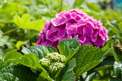 Purple or pink hydrangea flowers Stock Image