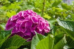 Purple or pink hydrangea flowers Royalty Free Stock Image