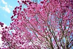 Purple Pink Ipe Tree Cupe Stock Photos