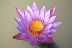 Purple-pink lotus flowers are blooming in the pool. The back has a beautiful green lotus leaf. Natural beautiful water lily | Thailand stock photo