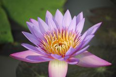 Purple-pink lotus flowers are blooming in the pool. The back has a beautiful green lotus leaf stock photography