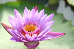 Purple-pink lotus flowers are blooming in the pool. The back has a beautiful green lotus leaf stock photo