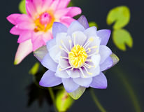 Purple and pink lotus with green leaf Stock Images