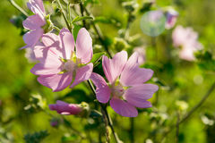 Purple pink meadow mallow flowers (Malva). Close up Royalty Free Stock Photography